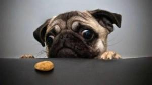глаза собаки породы мопс