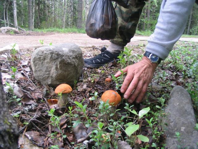 собирает грибы