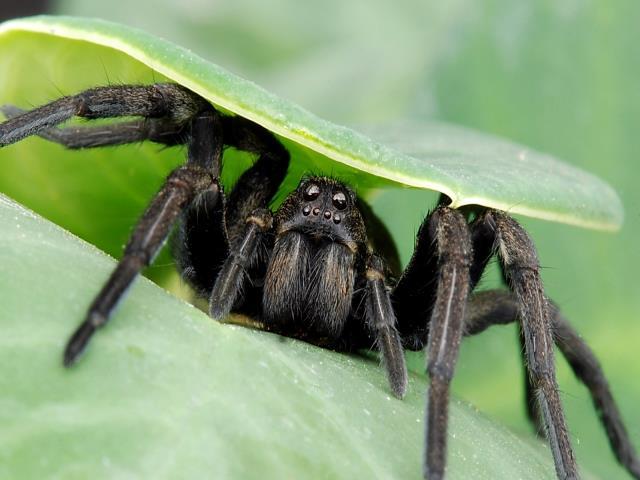 паук выглядывает из листьев