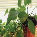 Почему нельзя дома держать вьющиеся растения?