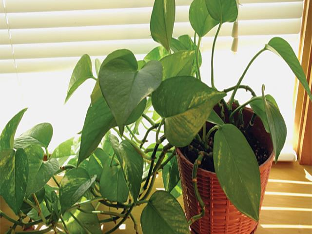 растение, которое вьется