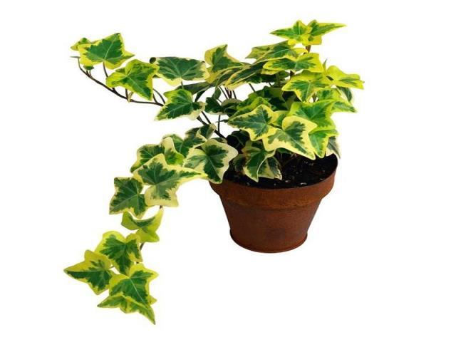 Фото на тему «Чому не можна вдома тримати в'юнкі рослини?»