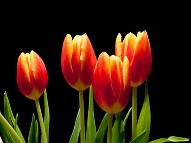парное число тюльпанов