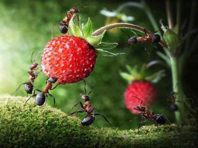 муравьи на ягодах