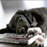 Почему собакам нельзя шоколад?