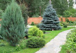 сажать елки на участке