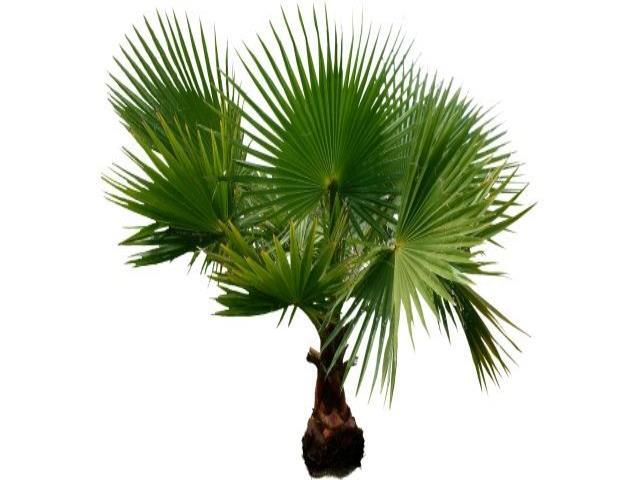 пальму держать дома