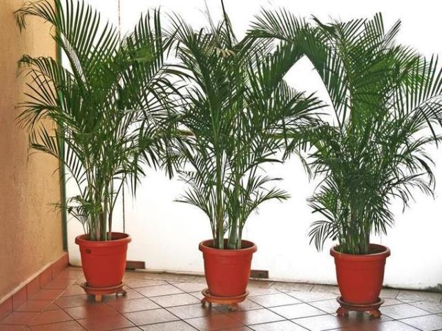 Фото на тему «Чому пальму не можна тримати вдома?»