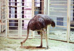 пугать страусов зоопарке