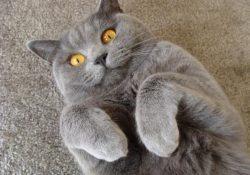 стерилизовать кошку течки