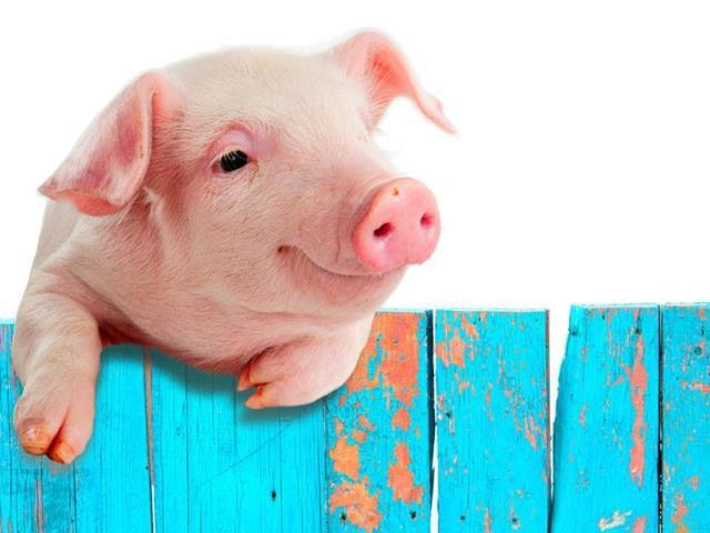свинья и забор