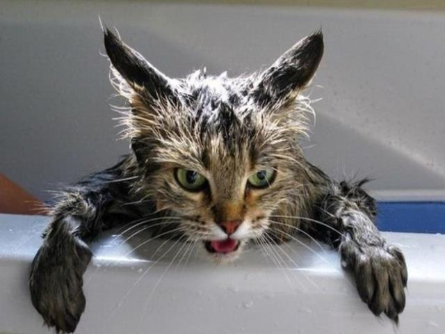 Фото на тему «Чому не можна мити кішок?»