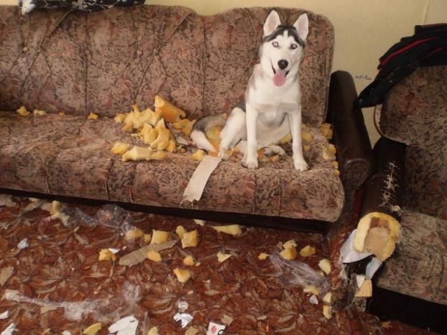 разорванная мебель собакой и хозаин
