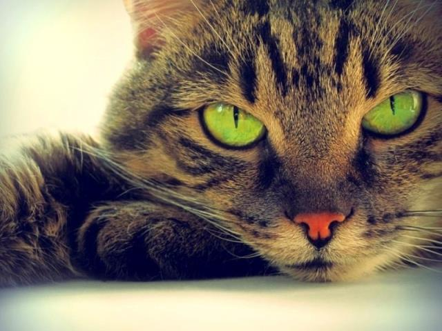 Фото на тему «Почему нельзя смотреть в глаза кошке?»