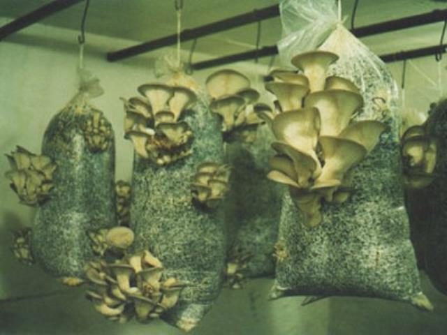 грибы растут искусственно