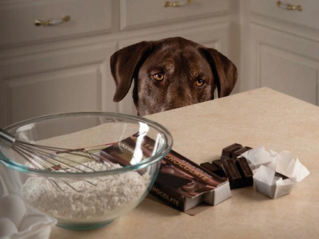 собака смотрит на стол