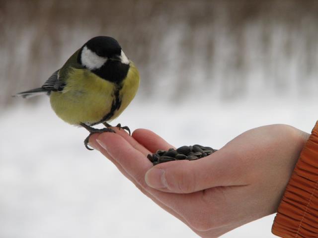 кормить птиц жареными семечками