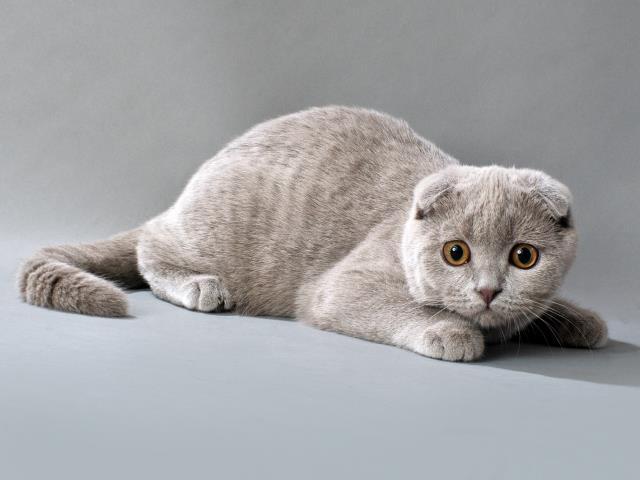 Почему нельзя скрещивать вислоухую кошку с вислоухим котом