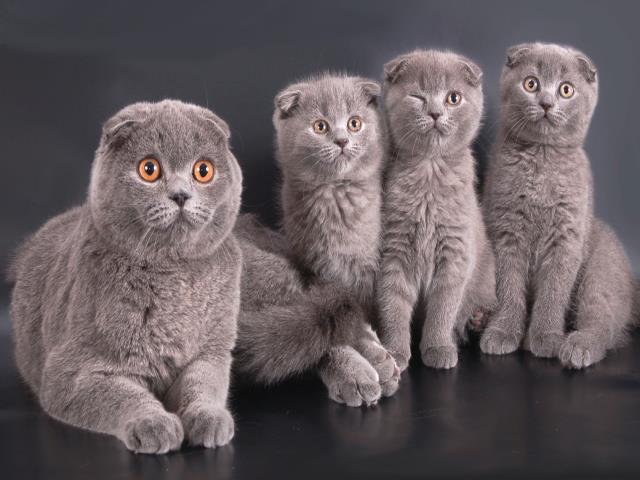 вязать двух вислоухих кошек