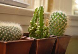 Фото на тему «Почему нельзя держать дома кактусы?»