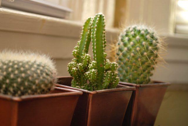 Можно ли держать кактусы дома? Кактус домашний: польза и вред, народные приметы и суеверия. Кактус в подарок: значение, примета. Можно ли держать кактус в доме — приметы