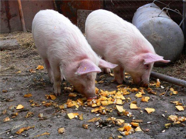 Почему православным нельзя есть свинину?