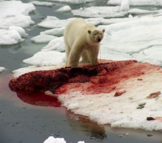 Почему нельзя мясо белого медведя?