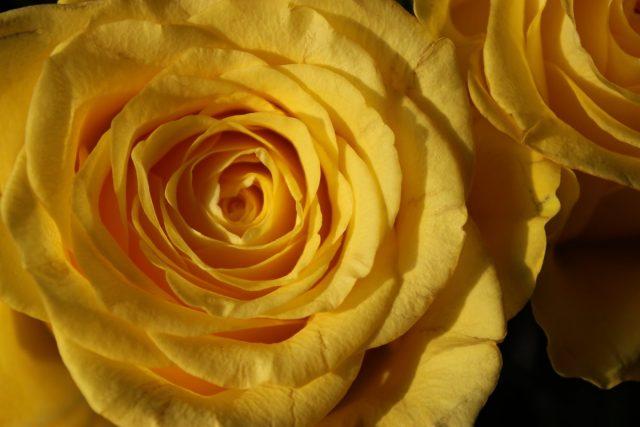 Фото на тему «Почему нельзя дарить желтые розы?»