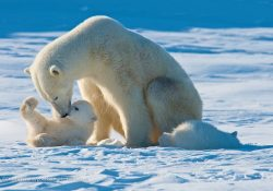 sc 32 1 250x175 - Почему нельзя мясо белого медведя?