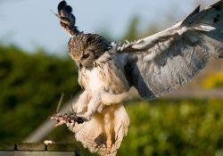 Фото на тему «Почему нельзя дома держать сову?»