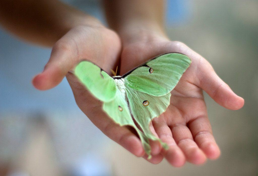 Фото на тему «Чому не можна ловити метеликів?»