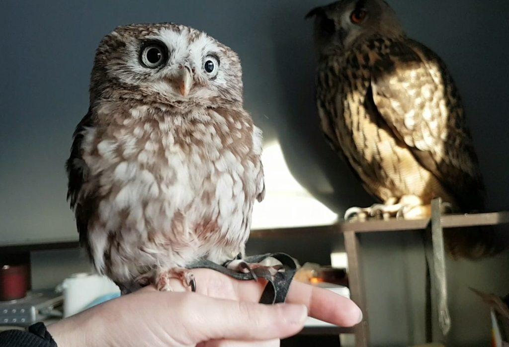 Фото на тему «Чому не можна вдома тримати сову?»