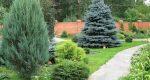 Почему нельзя сажать елки на участке?
