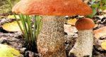 Почему нельзя вырастить подосиновик в искусственных условиях?
